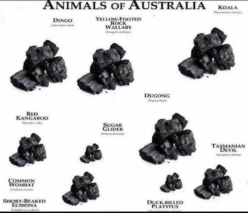 Rock - ANIMALS OF AUSTRALIA KOALA Meid YELLOW.FOOTED ROCK WALLABY DINGO DUGONG RED KANGAROO Ma SUGAR GLIDER TASMANIAN DEVIL COMMON WOMBAT SHQRT-BEAKED ECHIDNA Twb DUCK-BILLED PLATYPUS