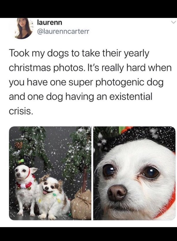 Mammal - laurenn @laurenncarterr Took my dogs to take their yearly christmas photos. It's really hard when you have one super photogenic dog and one dog having an existential crisis.