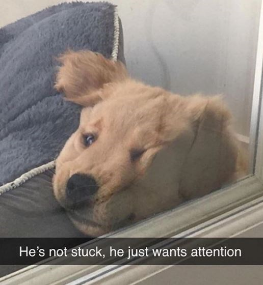 Dog - He's not stuck, he just wants attention