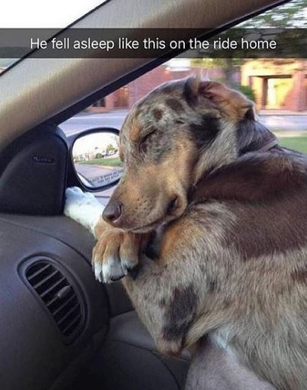 Dog - He fell asleep like this on the ride home 2154