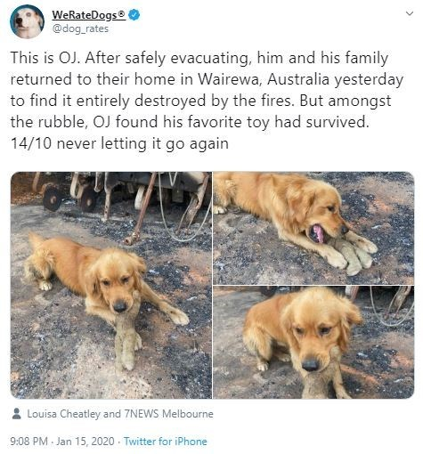 Dog - WeRateDogs @dog_rates This is OJ. After safely evacuating, him and his family returned to their home in Wairewa, Australia yesterday to find it entirely destroyed by the fires. But amongst the rubble, OJ found his favorite toy had survived. 14/10 never letting it go again Louisa Cheatley and 7NEWS Melbourne 9:08 PM - Jan 15, 2020 - Twitter for iPhone
