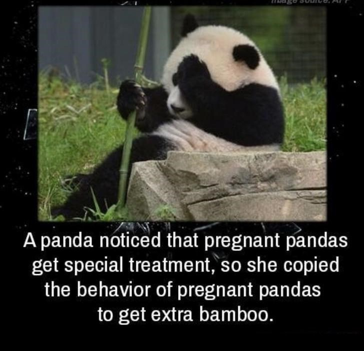 a panda noticed that pregnant pandas get special treatment, so she copied the behavior of pregnant pandas to get extra bamboo