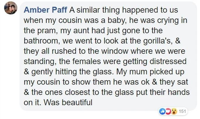 Text - Amber Paff A similar thing happened to us when my cousin was a baby, he was crying in the pram, my aunt had just gone to the bathroom, we went to look at the gorilla's, & they all rushed to the window where we were standing, the females were getting distressed & gently hitting the glass. My mum picked up my cousin to show them he was ok & they sat & the ones closest to the glass put their hands on it. Was beautiful 151