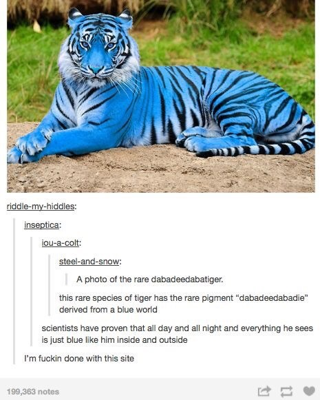 "Tiger - riddle-my-hiddles: inseptica: jou-a-colt: steel-and-snow: | A photo of the rare dabadeedabatiger. this rare species of tiger has the rare pigment ""dabadeedabadie"" derived from a blue world scientists have proven that all day and all night and everything he sees is just blue like him inside and outside I'm fuckin done with this site 199,363 notes"