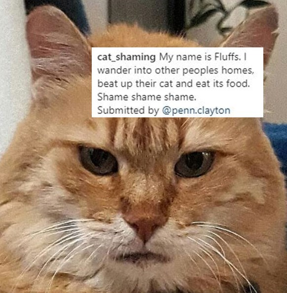 Cat - cat_shaming My name is Fluffs. I wander into other peoples homes, beat up their cat and eat its food. Shame shame shame. Submitted by @penn.clayton