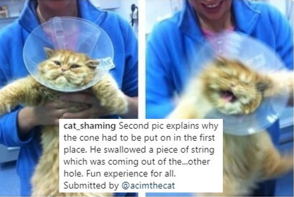 Cat - cat_shaming Second pic explains why the cone had to be put on in the first place. He swallowed a piece of string which was coming out of the..other hole. Fun experience for all. Submitted by @acimthecat