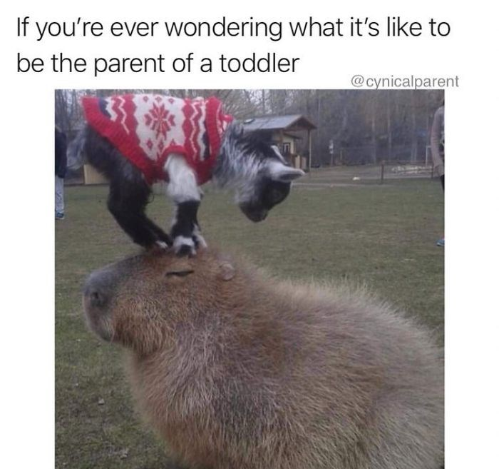 Capybara - If you're ever wondering what it's like to be the parent of a toddler @cynicalparent
