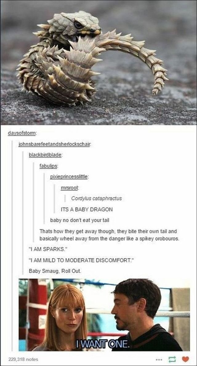 "Organism - daysofstorm: johnsbarefeetandsherlockschair. blackbirdblade: fabulips: pixieprincesslittle: mrsroot: Cordylus cataphractus ITS A BABY DRAGON baby no don't eat your tail Thats how they get away though, they bite their own tail and basically wheel away from the danger like a spikey orobouros. ""I AM SPARKS."" ""I AM MILD TO MODERATE DISCOMFORT."" Baby Smaug, Roll Out. IWANT ONE. 229,318 notes 11"