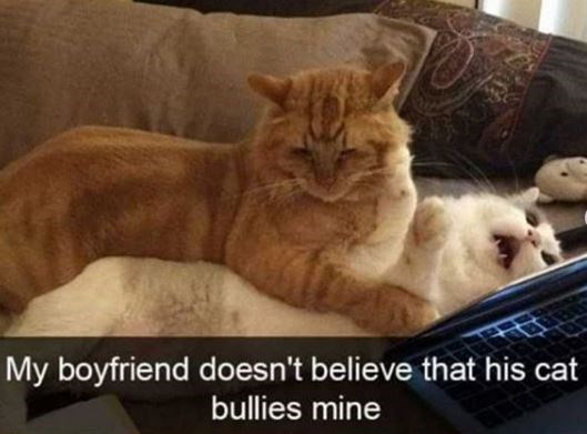 Cat - My boyfriend doesn't believe that his cat bullies mine