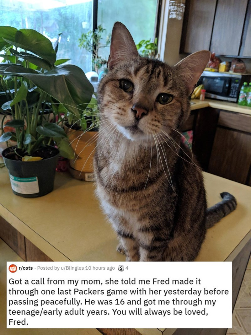 Cat - r/cats · Posted by u/Blingles 10 hours ago Got a call from my mom, she told me Fred made it through one last Packers game with her yesterday before passing peacefully. He was 16 and got me through my teenage/early adult years. You will always be loved, Fred.