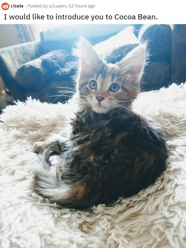 Cat - r/cats Posted by u/Luxeru 12 hours ago I would like to introduce you to Cocoa Bean.