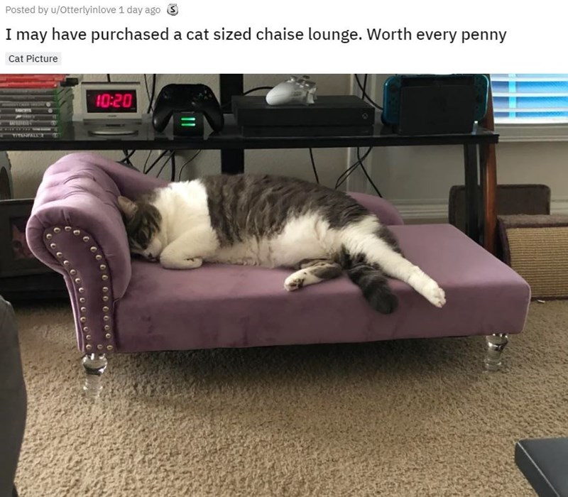 Cat - Posted by u/Otterlyinlove 1 day ago S I may have purchased a cat sized chaise lounge. Worth every penny Cat Picture 10:20
