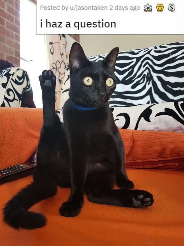 Cat - Posted by u/jasontaken 2 days ago i haz a question