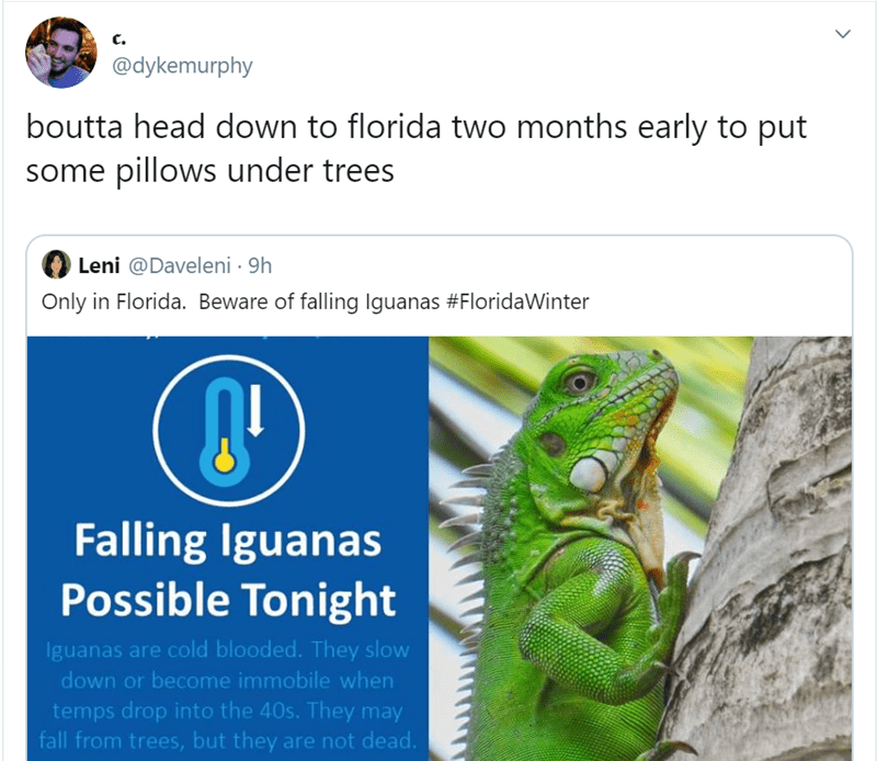 Lizard - c. @dykemurphy boutta head down to florida two months early to put some pillows under trees Leni @Daveleni · 9h Only in Florida. Beware of falling Iguanas #FloridaWinter Falling Iguanas Possible Tonight Iguanas are cold blooded. They slow down or become immobile when temps drop into the 40s. They may fall from trees, but they are not dead.