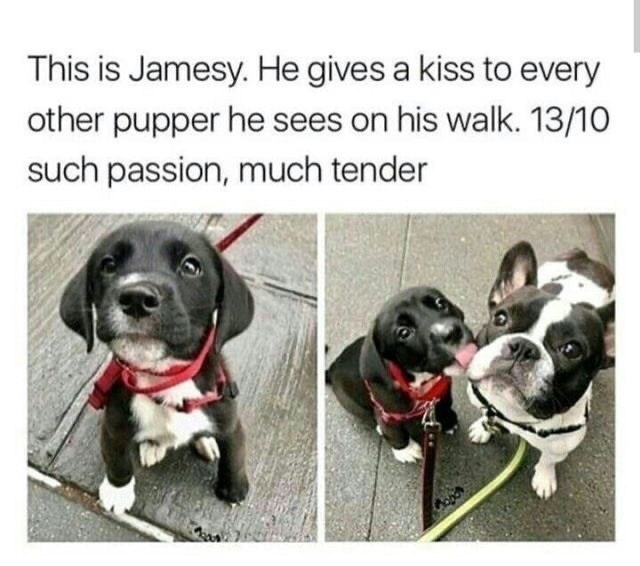 Dog - This is Jamesy. He gives a kiss to every other pupper he sees on his walk. 13/10 such passion, much tender