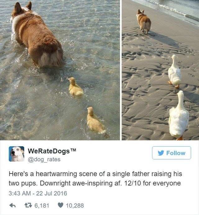 Canidae - WeRateDogs TM @dog_rates Follow Here's a heartwarming scene of a single father raising his two pups. Downright awe-inspiring af. 12/10 for everyone 3:43 AM - 22 Jul 2016 17 6,181 10,288