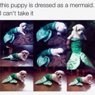 Canidae - this puppy is dressed as a mermaid. I can't take it