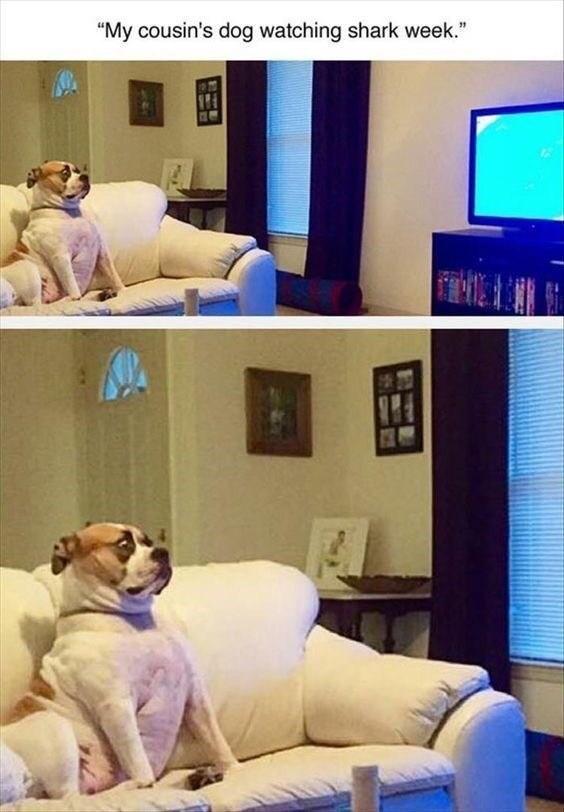 """Companion dog - """"My cousin's dog watching shark week."""""""