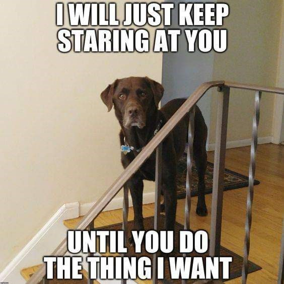 Dog - IWILL JUST KEEP STARING AT YOU UNTIL YOU DO THE THING I WANT