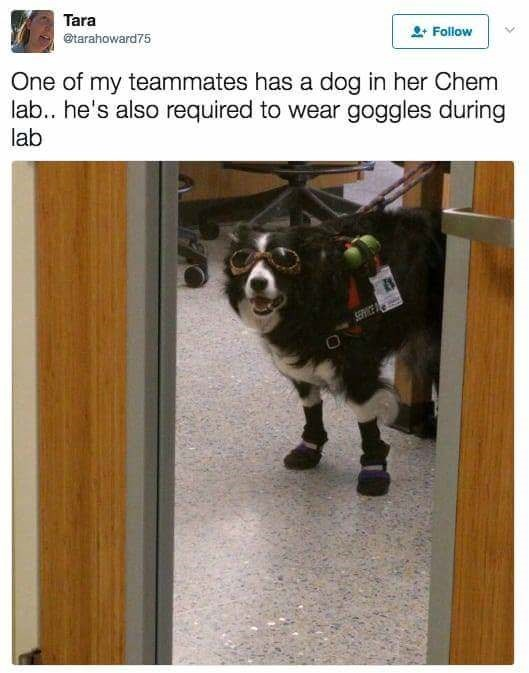 Photo caption - Tara @tarahoward75 Follow One of my teammates has a dog in her Chem lab.. he's also required to wear goggles during lab SERE