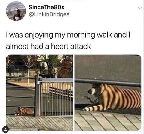 Bengal tiger - SinceThe80s @LinkinBridges I was enjoying my morning walk and I almost had a heart attack