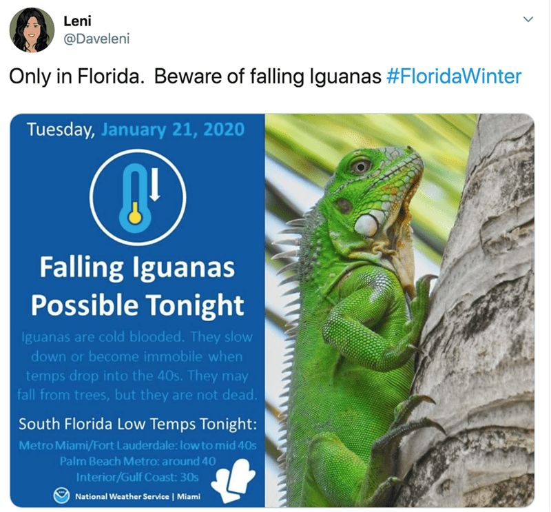Lizard - Leni @Daveleni Only in Florida. Beware of falling Iguanas #FloridaWinter Tuesday, January 21, 2020 Falling Iguanas Possible Tonight Iguanas are cold blooded. They slow down or become immobile when temps drop into the 40s. They may fall from trees, but they are not dead. South Florida Low Temps Tonight: Metro Miami/Fort Lauderdale: low to mid 40s Palm Beach Metro: around 40 Interior/Gulf Coast: 30s National Weather Service | Miami