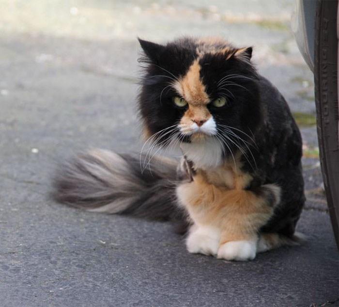 Cat - BNISH O