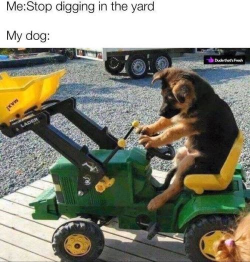 stop digging in the yard. my dog: dog riding a toy tractor