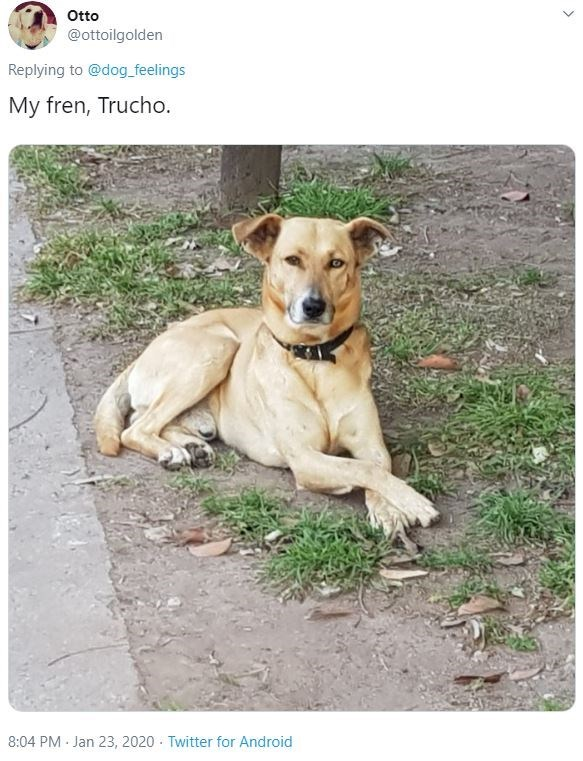 Dog - Otto @ottoilgolden Replying to @dog_feelings My fren, Trucho. 8:04 PM - Jan 23, 2020 - Twitter for Android