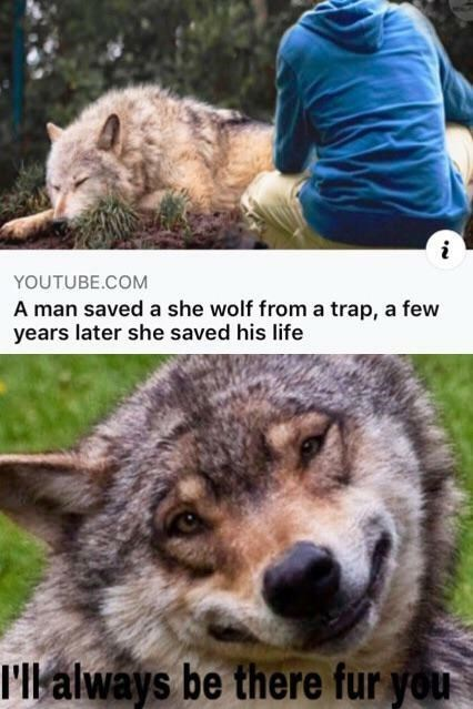 Vertebrate - YOUTUBE.COM A man saved a she wolf from a trap, a few years later she saved his life 'll always be there fur you