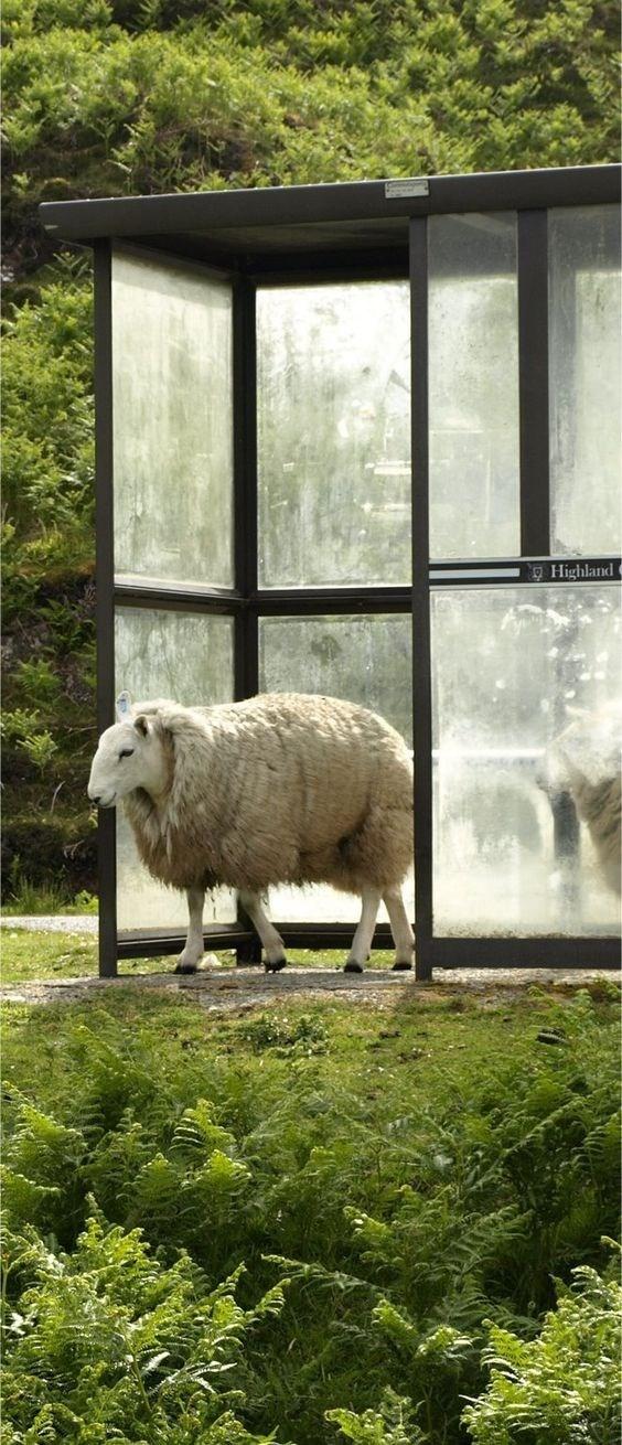 Sheep - Highland