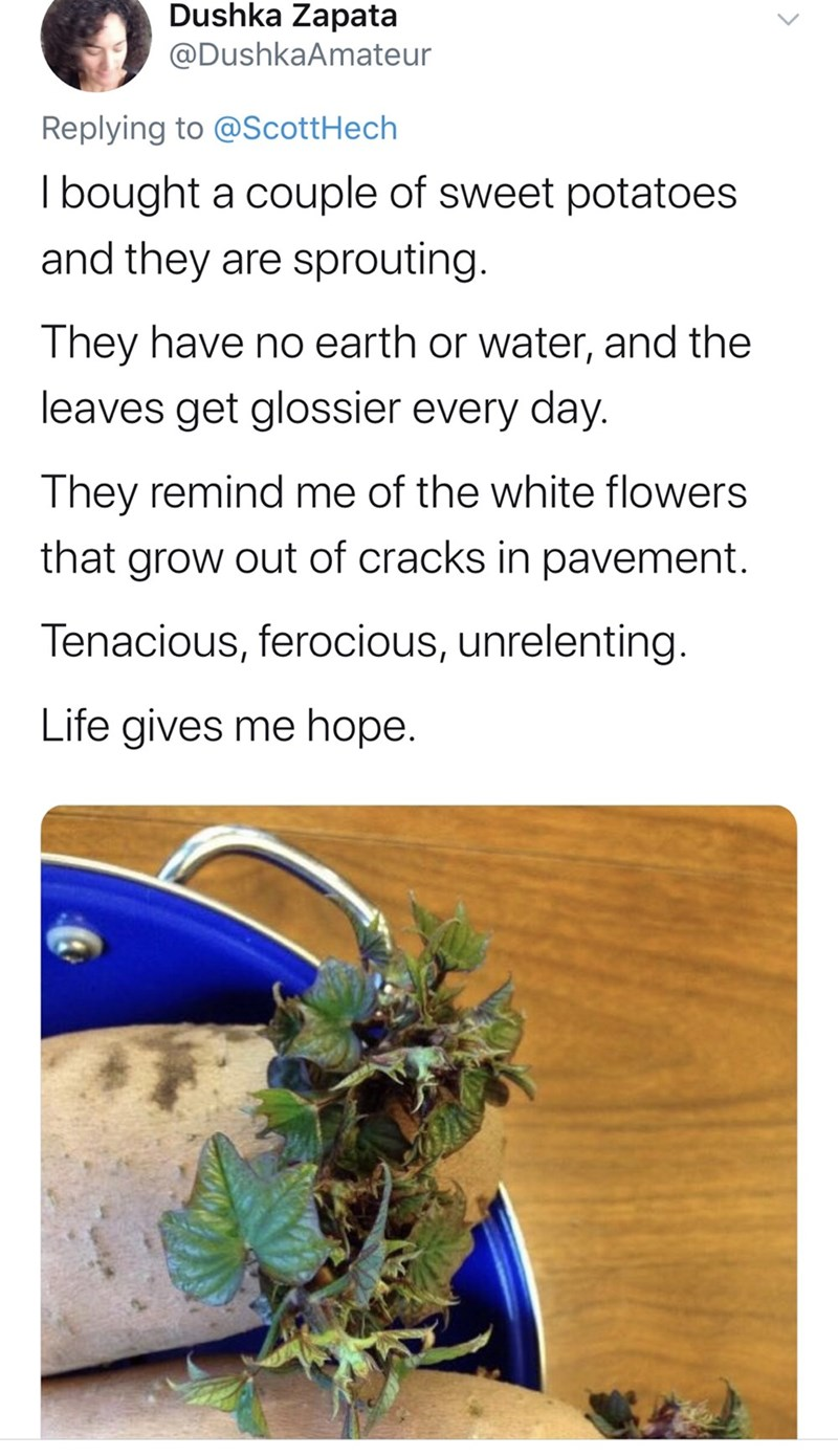 Text - Dushka Zapata @DushkaAmateur Replying to @ScottHech I bought a couple of sweet potatoes and they are sprouting. They have no earth or water, and the leaves get glossier every day. They remind me of the white flowers that grow out of cracks in pavement. Tenacious, ferocious, unrelenting. Life gives me hope.
