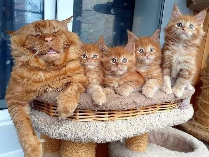 funny animal photo adult orange cat sleeping on a cat tree next to four very alert looking orange kittens