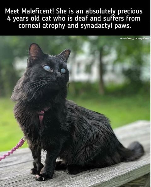 Cat - Meet Maleficent! She is an absolutely precious 4 years old cat who is deaf and suffers from corneal atrophy and synadactyl paws. Gmaleficent_the magnilicent