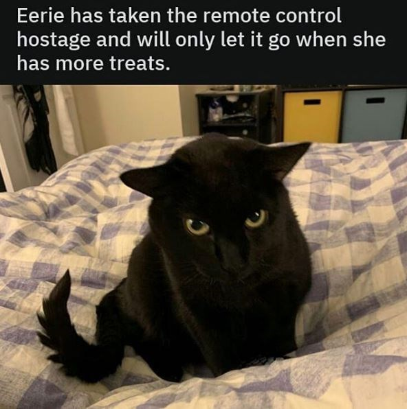 Cat - Eerie has taken the remote control hostage and will only let it go when she has more treats.