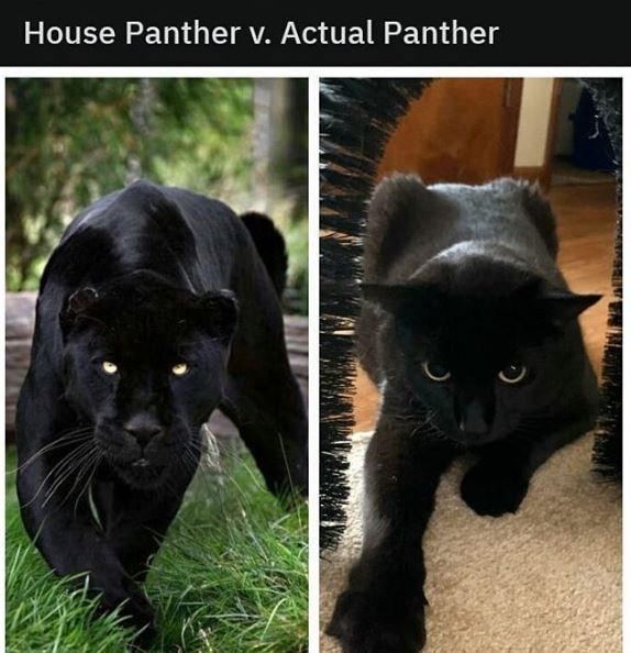Cat - House Panther v. Actual Panther