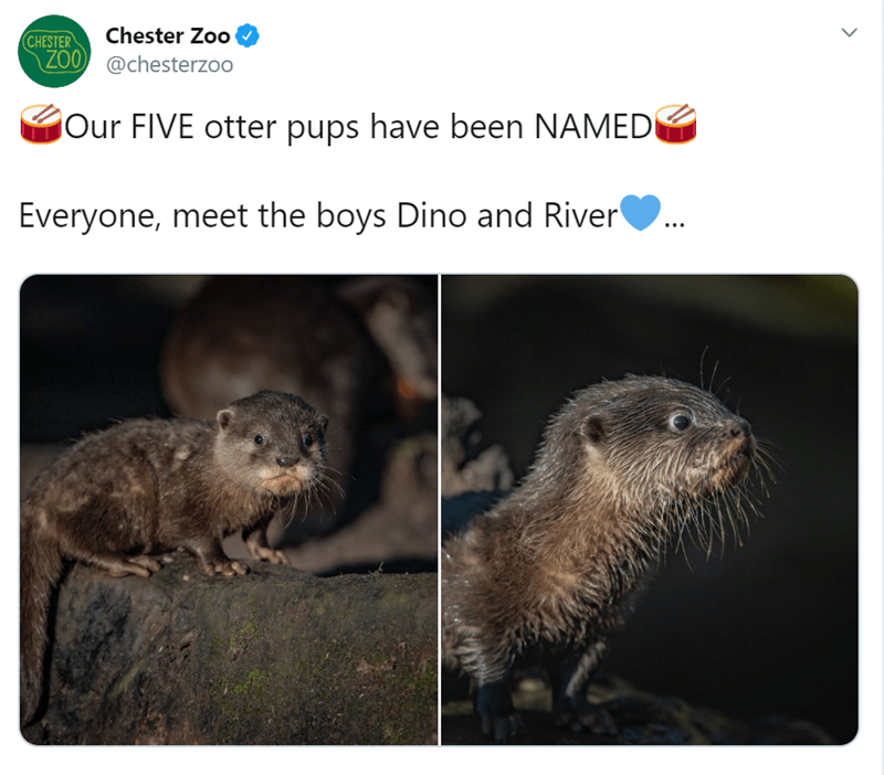Groundhog - Chester Zoo CHESTER ZOO @chesterzoo jOur FIVE otter pups have been NAMEDI Everyone, meet the boys Dino and River
