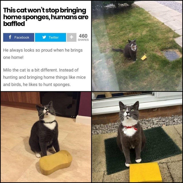Cat - This cat won't stop bringing home sponges, humans are baffled 460 f Facebook Twitter SHARES He always looks so proud when he brings one home! Milo the cat is a bit different. Instead of hunting and bringing home things like mice and birds, he likes to hunt sponges.