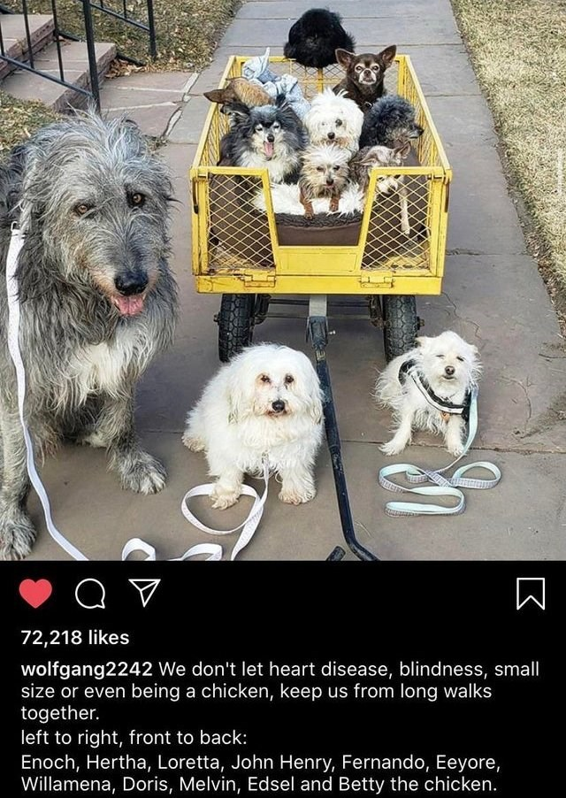 Vertebrate - 72,218 likes wolfgang2242 We don't let heart disease, blindness, small size or even being a chicken, keep us from long walks together. left to right, front to back: Enoch, Hertha, Loretta, John Henry, Fernando, Eeyore, Willamena, Doris, Melvin, Edsel and Betty the chicken.