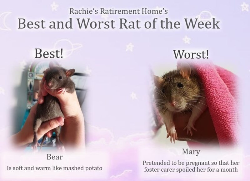 Text - Rachie's Ratirement Home's Best and Worst Rat of the Week Best! Worst! Mary Bear Pretended to be pregnant so that her foster carer spoiled her for a month Is soft and warm like mashed potato