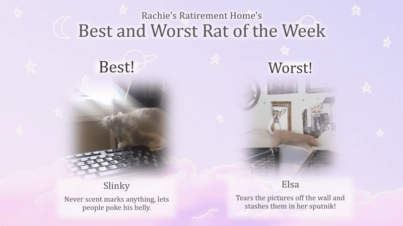 Text - Rachie's Ratirement Home's Best and Worst Rat of the Week Best! Worst! Elsa Slinky Tears the pictures off the wall and stashes them in her sputnik! Never scent marks anything, lets people poke his belly.