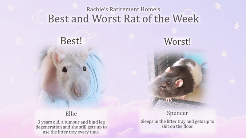 Rat - Rachie's Ratirement Home's Best and Worst Rat of the Week Best! Worst! Spencer Ellie Sleeps in the litter tray and gets up to shit on the floor. 3 years old, a tumour and hind leg degeneration and she still gets up to use the litter tray every time.