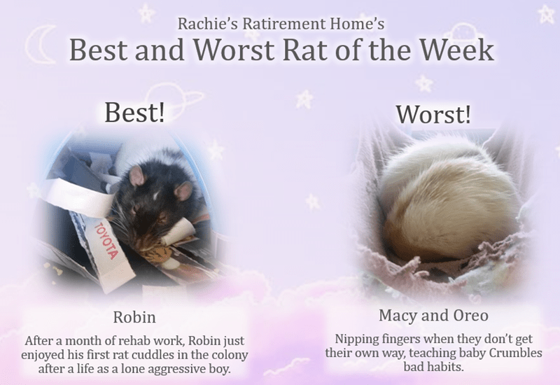 Text - Rachie's Ratirement Home's Best and Worst Rat of the Week Best! Worst! Macy and Oreo Robin Nipping fingers when they don't get their own way, teaching baby Crumbles bad habits. After a month of rehab work, Robin just enjoyed his first rat cuddles in the colony after a life as a lone aggressive boy. TOYOTA