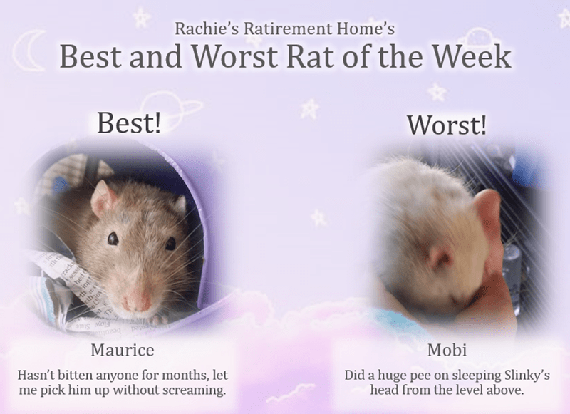 Hamster - Rachie's Ratirement Home's (Best and Worst Rat of the Week Best! Worst! s fir ith th th th TE Flow State Maurice Hasn't bitten anyone for months, let me pick him up without screaming. Mobi Did a huge pee on sleeping Slinky's head from the level above. (racks sessie hed t ingt