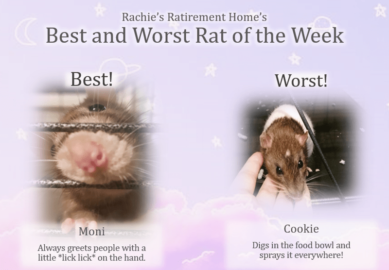 Adaptation - Rachie's Ratirement Home's Best and Worst Rat of the Week Best! Worst! Cookie Moni Digs in the food bowl and sprays it everywhere! Always greets people with a little *lick lick* on the hand.