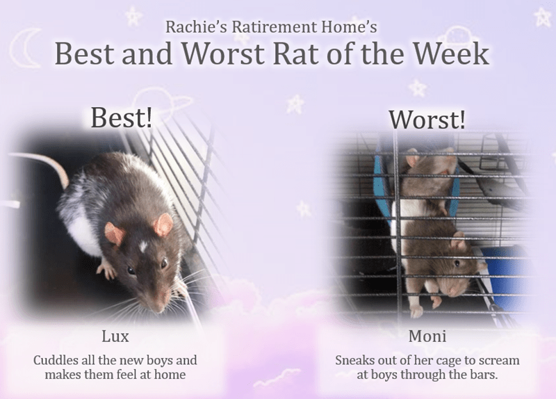 Rat - Rachie's Ratirement Home's Best and Worst Rat of the Week Best! Worst! Lux Moni Cuddles all the new boys and makes them feel at home Sneaks out of her cage to scream at boys through the bars. পল