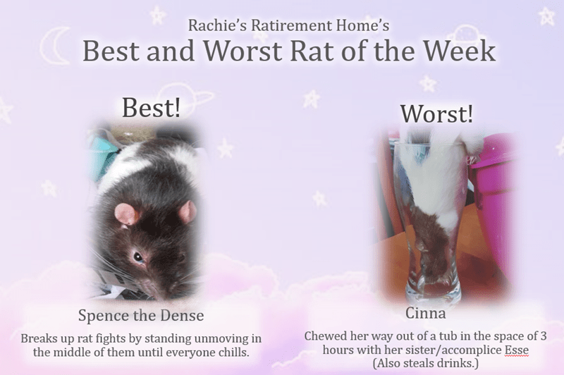 Rat - Rachie's Ratirement Home's Best and Worst Rat of the Week Best! Worst! Cinna Spence the Dense Chewed her way out of a tub in the space of 3 hours with her sister/accomplice Esse (Also steals drinks.) Breaks up rat fights by standing unmoving in the middle of them until everyone chills.