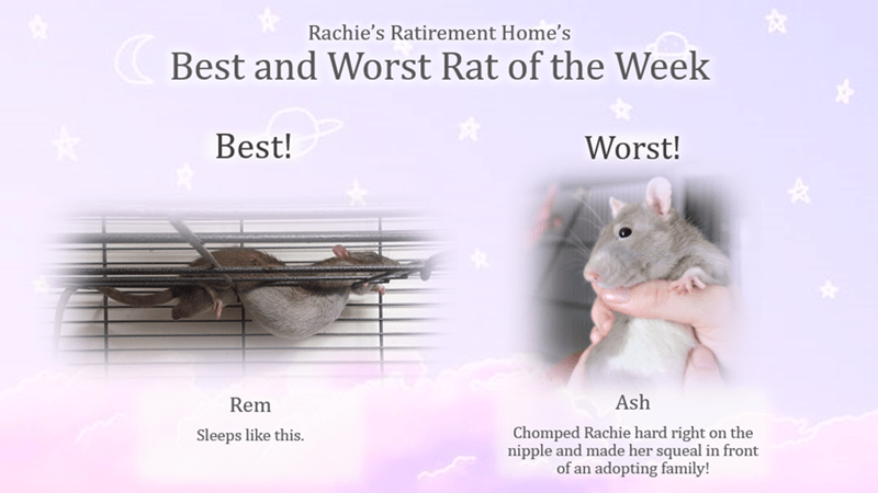 Rat - Rachie's Ratirement Home's Best and Worst Rat of the Week Best! Worst! Ash Rem Chomped Rachie hard right on the nipple and made her squeal in front of an adopting family! Sleeps like this.