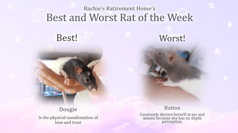 Mouse - Rachie's Ratirement Home's Best and Worst Rat of the Week Best! Worst! Button Dougie Constantly throws herself at me and misses because she has no depth perception. Is the physical manifestation of love and trust