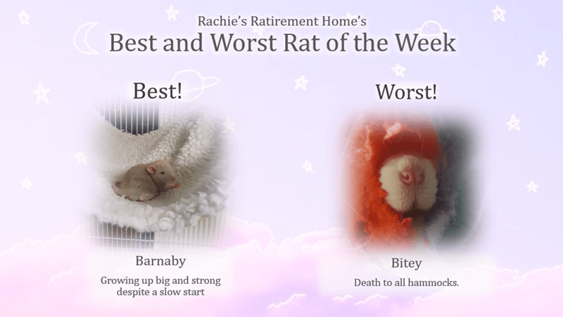 Text - Rachie's Ratirement Home's Best and Worst Rat of the Week Best! Worst! Barnaby Bitey Growing up big and strong despite a slow start Death to all hammocks.